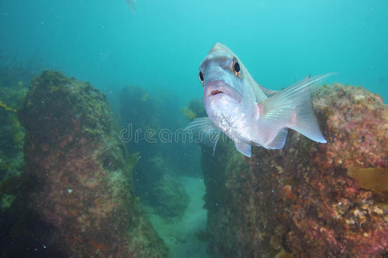 Snapper looking into camera royalty free stock photography
