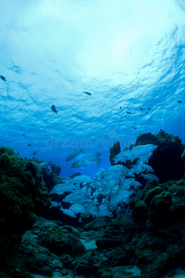 Download Snapper school stock photo. Image of schooling, free - 21045744