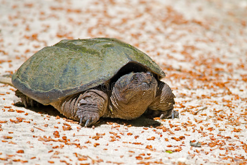 Download Snapping Turtle stock photo. Image of road, snapping - 26202242