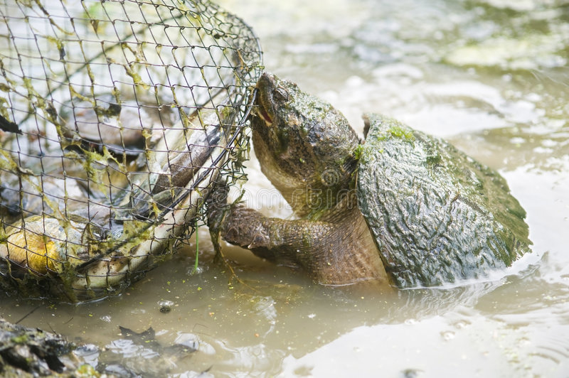 Download Snapping Turtle Attacking Fish Basket Stock Photo - Image: 6221240