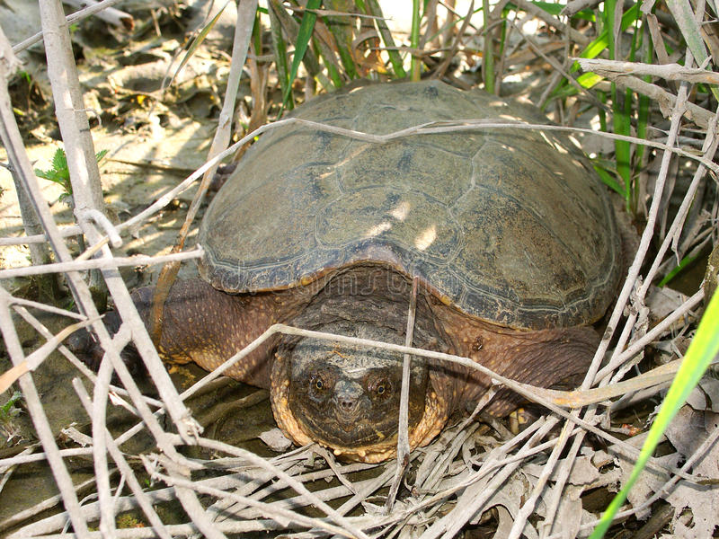 Snapping Turtle (Chelydra Serpentina) Royalty Free Stock Photo