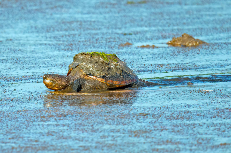 Snapping Turtle. Common Snapping Turtle crawling through the mud of the marsh stock images