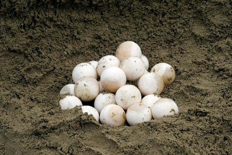 Download Snapping Turtle Eggs (Chelydra Serpentina) Royalty Free Stock Photography - Image: 26052877
