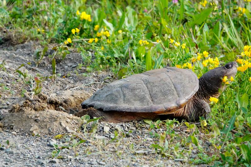 Snapping Turtle Laying Eggs on the Road Shoulder royalty free stock image