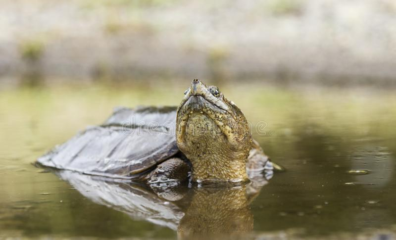 Snapping Turtle in muddy water, Georgia USA. Large Common Snapping Turtle, Chelydra serpentina, in muddy swamp water puddle. May in Walton County, GA. The common stock photo