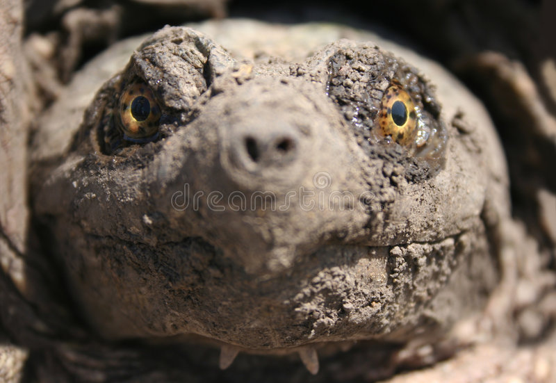 Snapping Turtle's Face stock photo