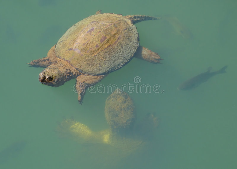 Snapping Turtles royalty free stock image
