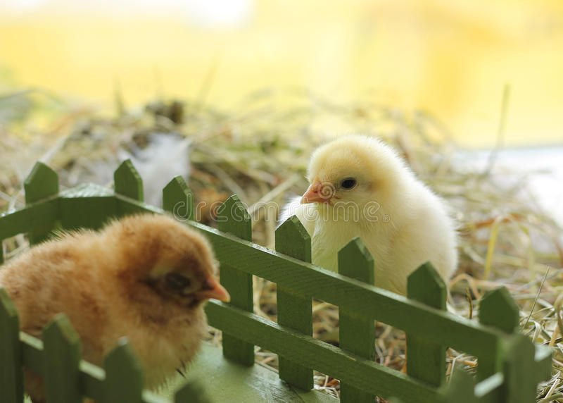Snapshot of cute day old chicks on hay. Close-up stock photo