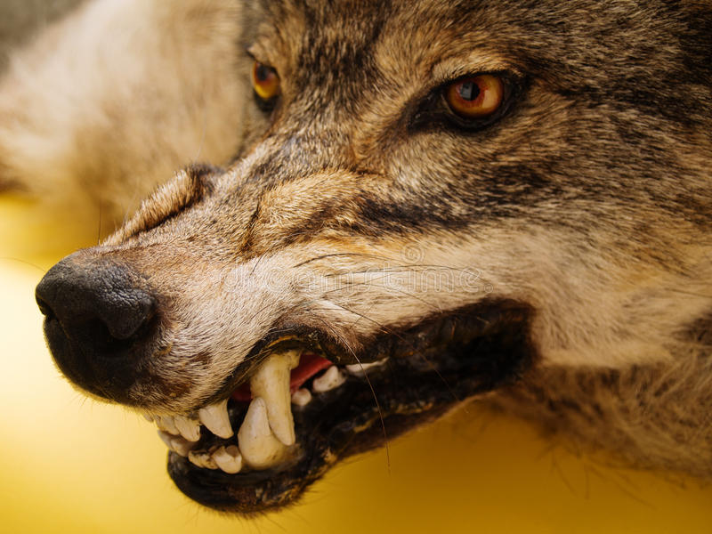snarl of wolf royalty free stock image
