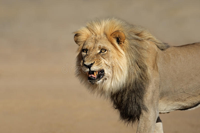 Snarling African lion royalty free stock photography