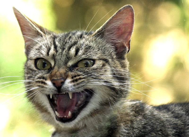 Snarling Cat royalty free stock photography