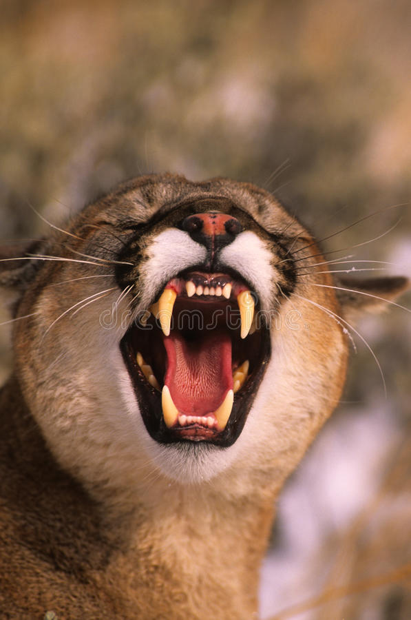 Download Snarling Mountain Lion stock image. Image of predator - 10125467