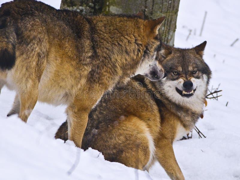 Snauwende wolf royalty-vrije stock afbeelding