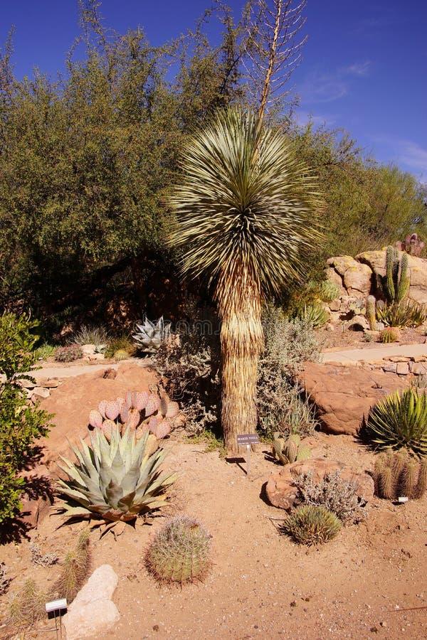 Snavelvormige yucca royalty-vrije stock fotografie