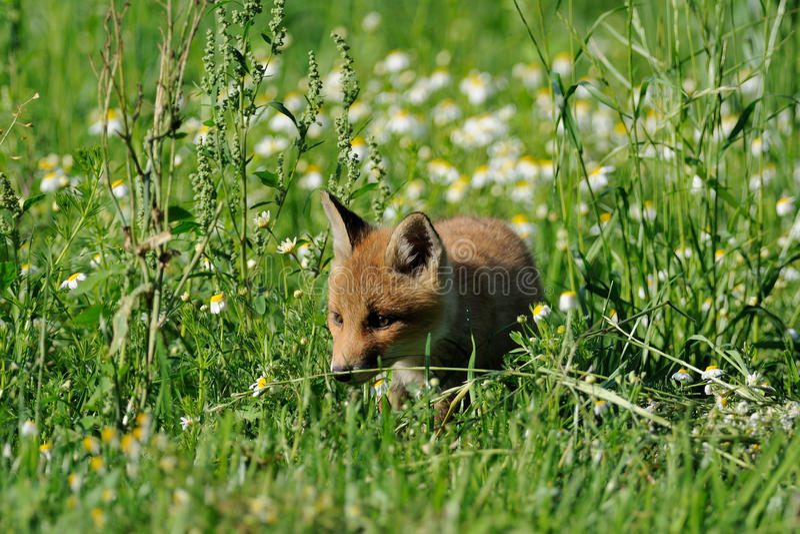 Sneaking Through The Grassland Royalty Free Stock Image