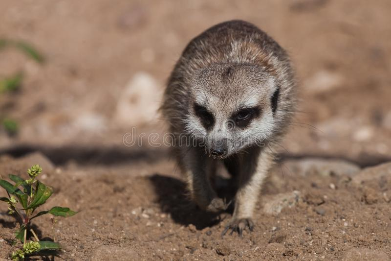 Sneaking up. A watchful  peppy meerkat Timon on a sandy desert background is watching closely. Sneaking up. A watchful and peppy meerkat Timon on a sandy desert stock images