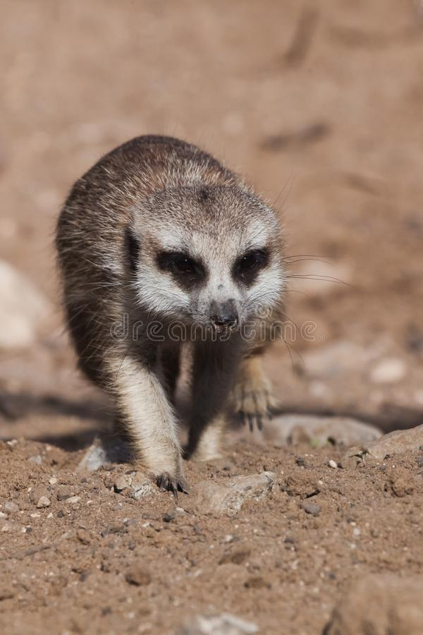 Sneaking up. A watchful  peppy meerkat Timon on a sandy desert background is watching closely. Sneaking up. A watchful and peppy meerkat Timon on a sandy desert stock photos