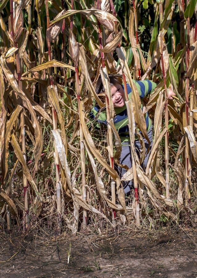 Sneaky мальчик прячет в позади высокорослых черенок мозоли в поле стоковая фотография