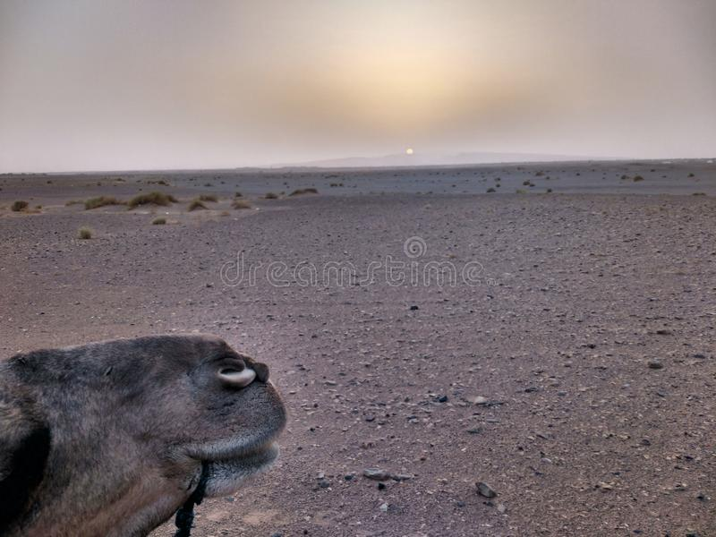 Sneaky camel. Camel photobombing picture of sunset in the Sahara desert royalty free stock images