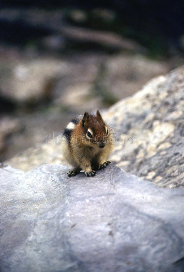 Sneaky Chipmunk climbing on rocks. Chipmunk in Jasper National Park royalty free stock image