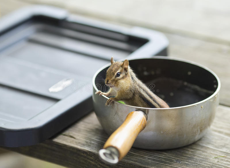Sneaky chipmunk. A thieving chipmunk stealing food from a campsite pot royalty free stock photography