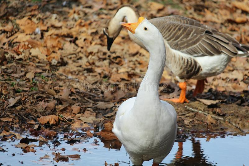 Sneaky Geese. Geese at the park royalty free stock images