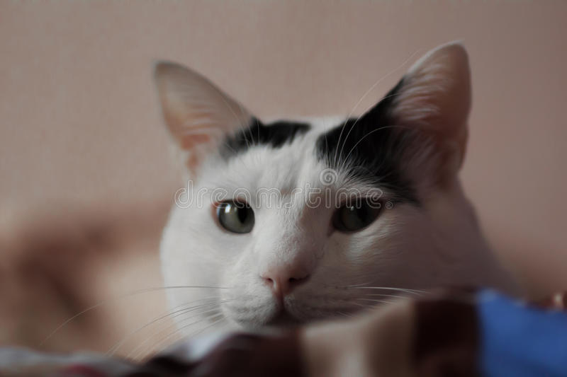 Sneaky glance. White Turkish Van cat looks into the camera royalty free stock photography