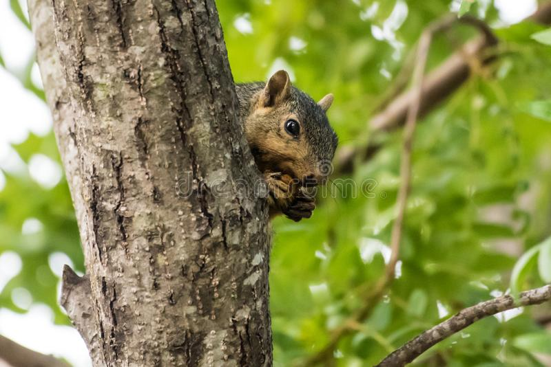 Sneaky mammal eating in plain sight. Ground Squirrel eating a nut from the safety of behind a tree trunk up high stock photography