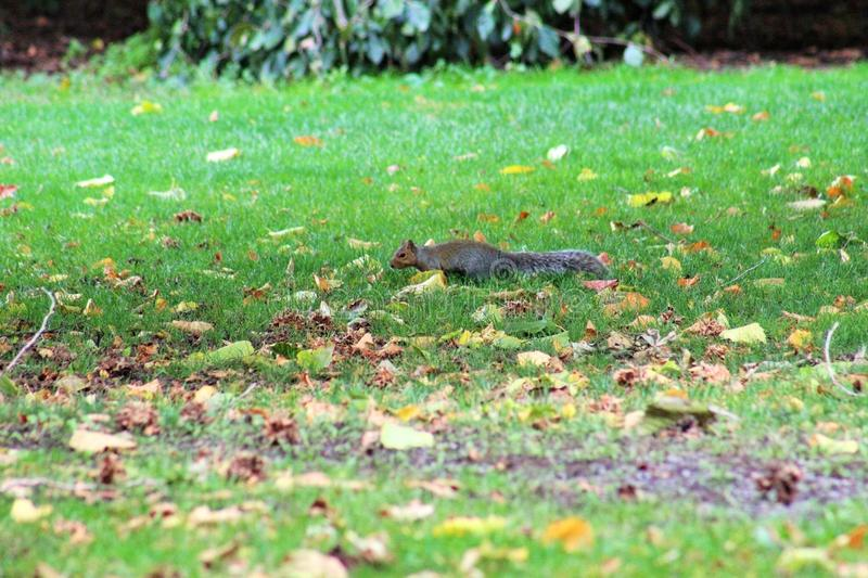 Sneaky squirrel. Fast running squirrel royalty free stock image