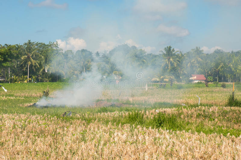 Snedstreck och brännskada på en Ricefield royaltyfri bild