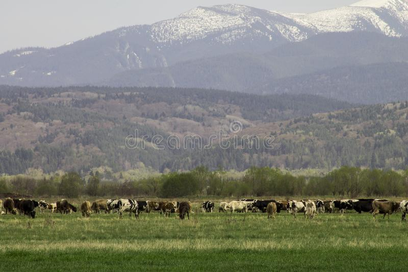 Sneeuw afgedekte bergen en groene weide met koeien stock afbeeldingen