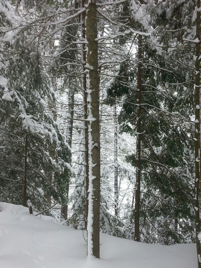 Sneeuw backlit boom in de winterbos royalty-vrije stock fotografie