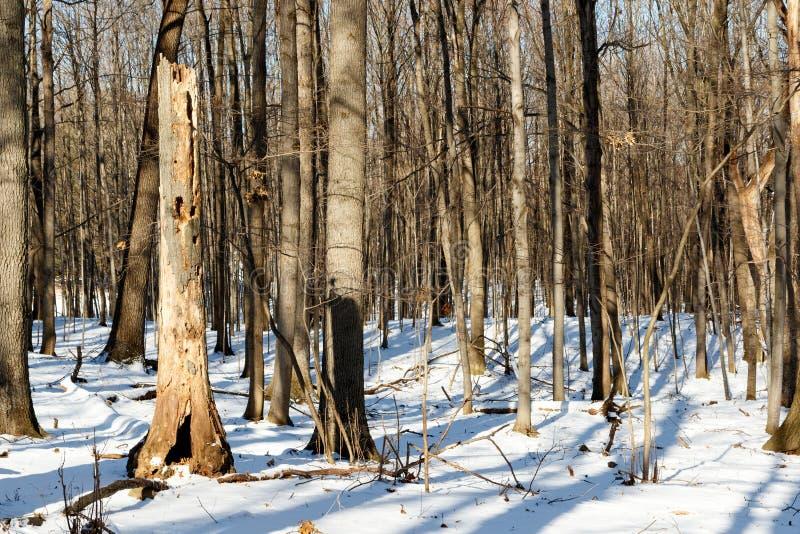 Sneeuw bedekt met winterbos met zonlicht en schaduwen stock fotografie