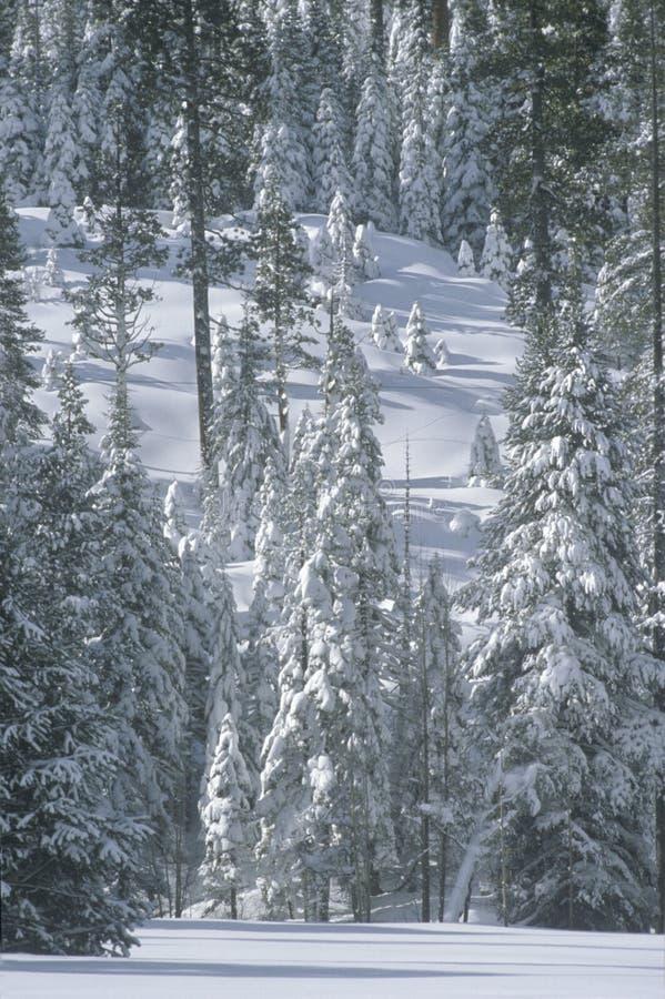 Sneeuw behandeld bos, CA royalty-vrije stock foto