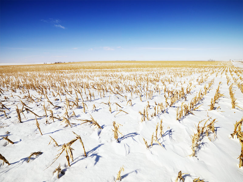 Sneeuw behandeld graangebied. stock foto