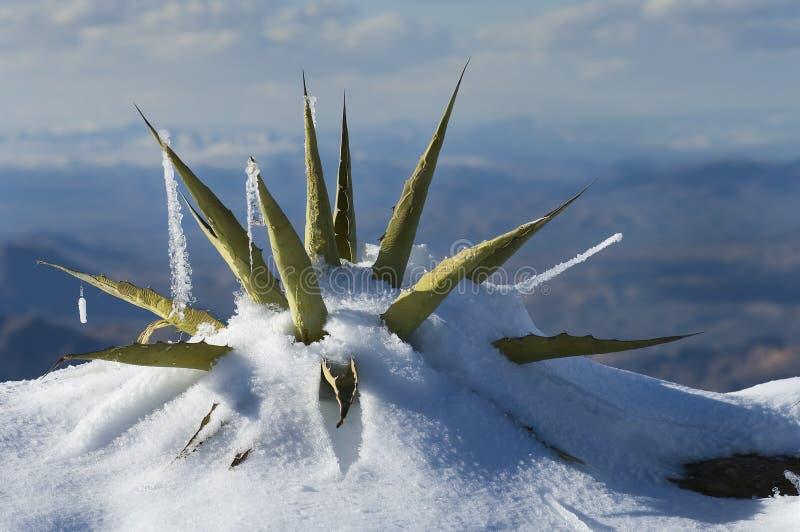Sneeuw Behandelde Agave royalty-vrije stock foto
