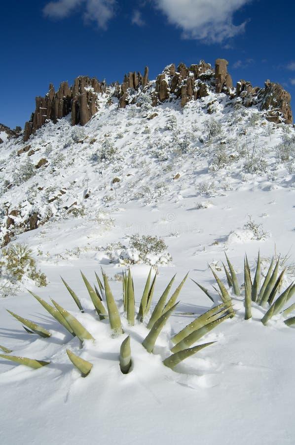 Sneeuw behandelde Agaves stock foto's
