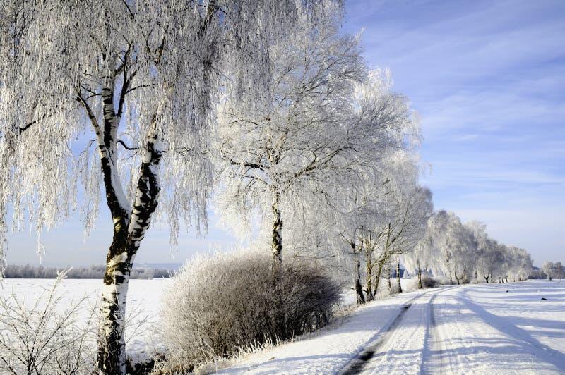 Sneeuw behandelde berkbomen royalty-vrije stock fotografie