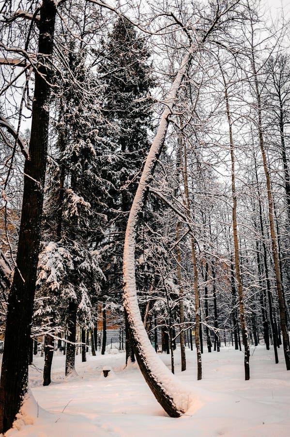 Sneeuw behandelde boom met de gebogen boomstamwinter stock afbeelding