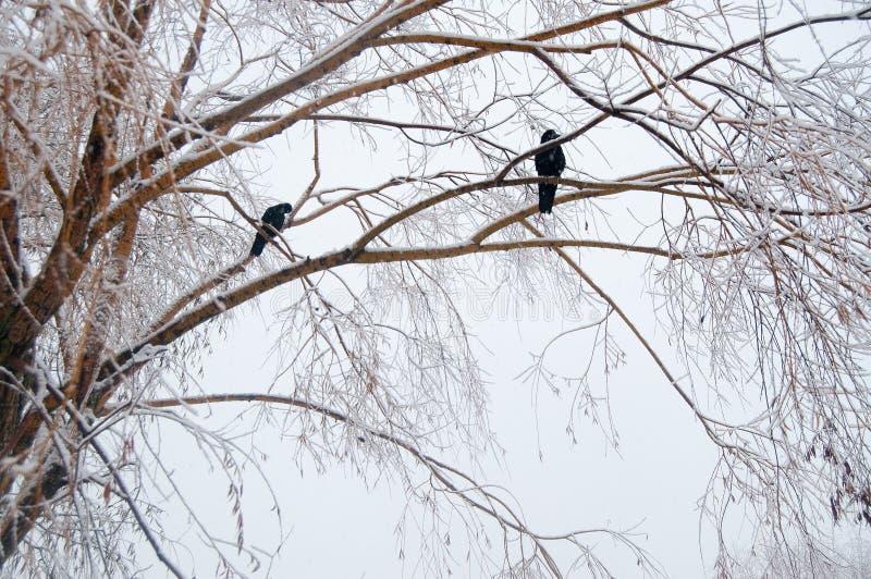 Sneeuw behandelde boomtakken, kraaienclose-up royalty-vrije stock foto's