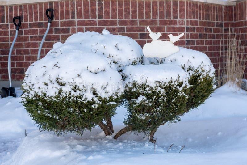 Sneeuw behandelde bukshoutstruik stock afbeelding