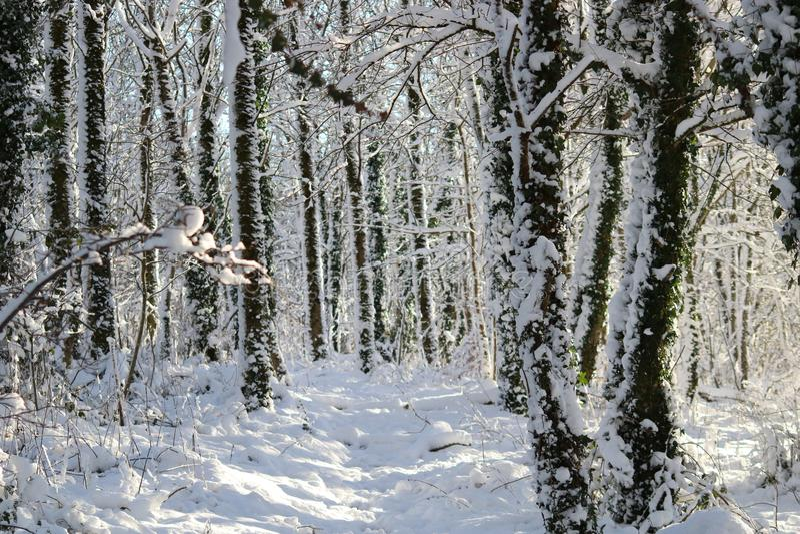 Sneeuw behandelde de winterbomen in bos stock foto