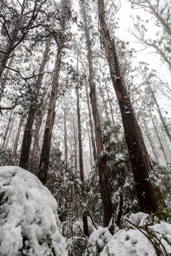 Sneeuw behandelde eucalyptusbomen en varens in Australië royalty-vrije stock foto's