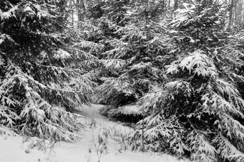 Sneeuw behandelde pijnboombomen royalty-vrije stock afbeeldingen