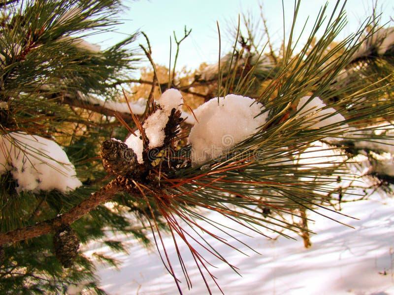 Sneeuw Behandelde Pijnboomboom in de Weide royalty-vrije stock afbeelding