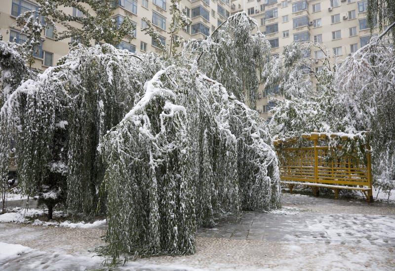 Sneeuw beschadigde bomen stock afbeeldingen