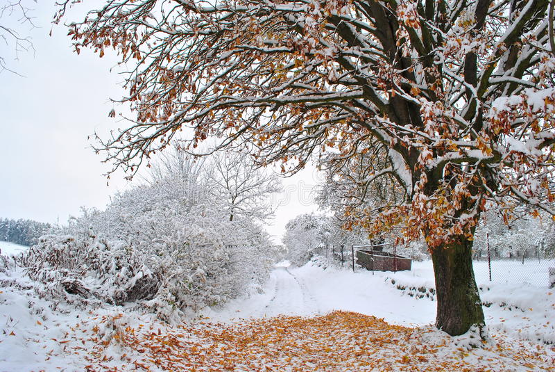 sneeuw boom stock foto's