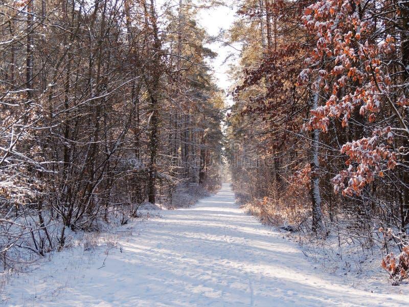 Sneeuw bosweg met zon het glanzen stock foto's