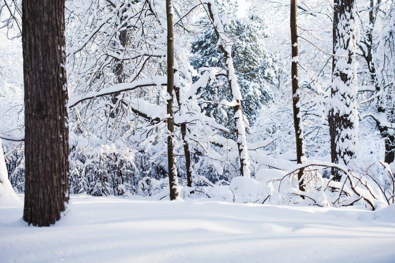 Sneeuw de winter bosachtergrond Koude weerscène, sneeuw behandeld bomenlandschap royalty-vrije stock afbeeldingen