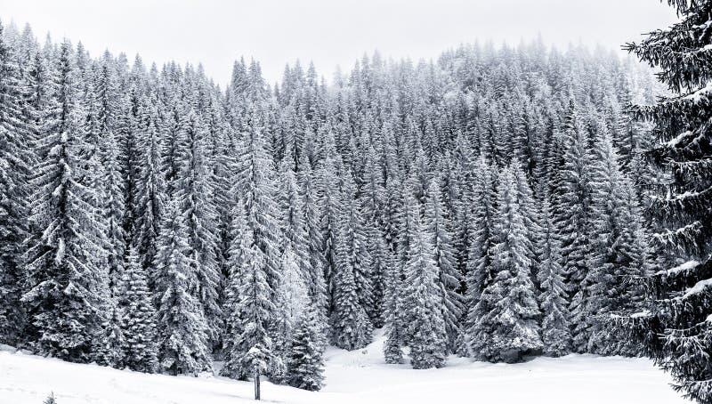 Sneeuw de winterbos met pijnboom of nette bomen behandelde sneeuw stock foto